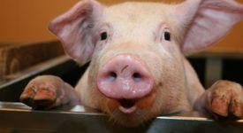 Всичко за свинския грип A(H1N1)