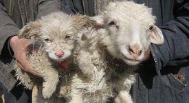 Овца роди кученце (+снимки)