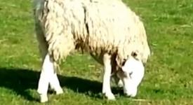 Овца с вродена аномалия – хит в интернет (+видео)