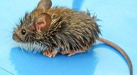 Отгледаха зъб в бъбрека на мишка, след това го присадили на друг гризач