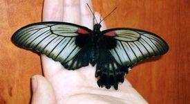 Студент по биология присади крило на пеперуда