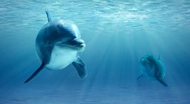 Доказано: Разговорите между делфините приличат на разговорите между двама души