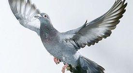 Мързеливи гълъби ползват услугите на метрото