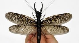 Откриха най-голямото насекомо в света