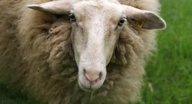 Има ли нужда една овца от мобилен телефон?