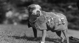 Смелият  Стъби – първото куче-войник в американската армия