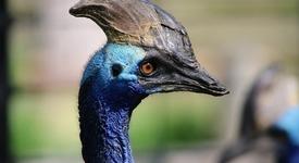 Казуари - най-опасната птица в света!