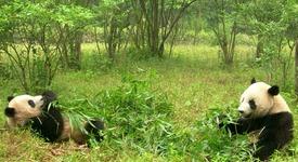 Кръстиха първите панди-близнаци, заченати от опитомена майка и див баща