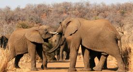 Пияни слонове нападнаха индийско селище