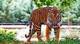 Знаете ли, че: Елените виждат тигрите като зелени