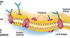 Функции на цитоплазматичната мембрана при микроорганизмите