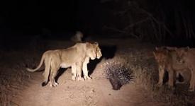 Как едно бодливо прасе може да се спаси от 17 лъва? [+ видео]