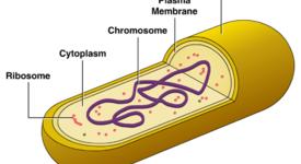 Структура на цитоплазматичната мембрана при микроорганизмите