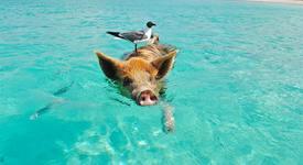 Приключения с прасета на плажа