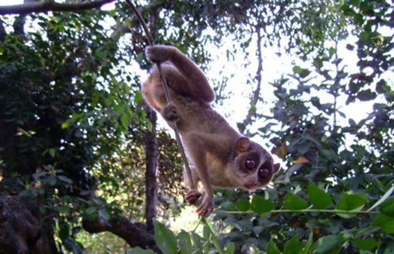 Дебело Лори Джудже (Nycticebus pygmaeus)