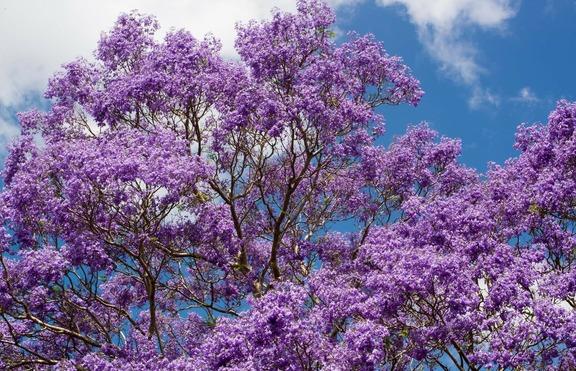 Виолетова мечта: Дървото Джакаранда