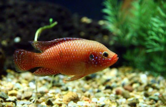 Женските риби стават песимисти при раздяла с партньора