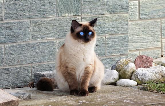 Любимата ви порода котка издава какви сте