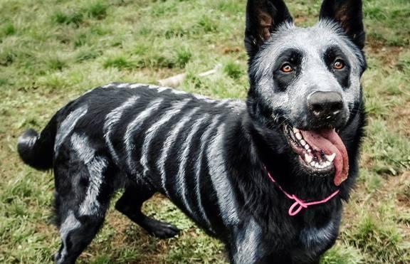 Хелоуин костюм? Вземете кучето с вас