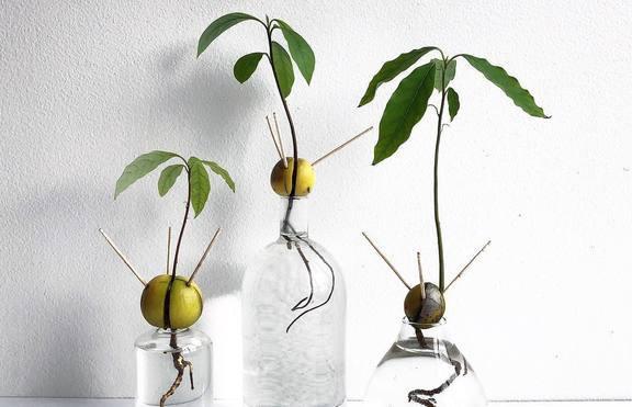 Как да си посадим плод-чудо