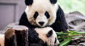 Пандите в Берлинския зоопарк